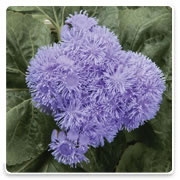 Oconomowoc Landscape Supply & Garden Center Ageratum Annual Flowers