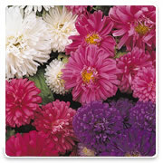 Oconomowoc Landscape Supply & Garden Center Asters Annual Flowers