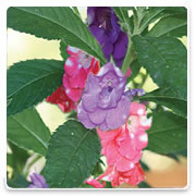 Oconomowoc Landscape Supply & Garden Center Balsam Annual Flowers