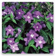 Oconomowoc Landscape Supply & Garden Center Browalia Annual Flowers