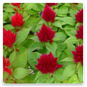 Oconomowoc Landscape Supply & Garden Center Celosia Annual Flowers