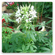 Oconomowoc Landscape Supply & Garden Center Cleome Annual Flowers