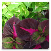 Oconomowoc Landscape Supply & Garden Center Coleus Annual Flowers