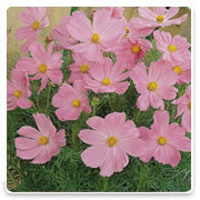 Oconomowoc Landscape Supply & Garden Center Cosmos Annual Flowers