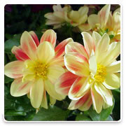 Oconomowoc Landscape Supply & Garden Center Dahlia Annual Flowers