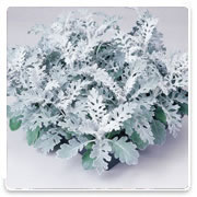 Oconomowoc Landscape Supply & Garden Center Dusty Miller Annual Flowers