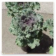 Oconomowoc Landscape Supply & Garden Center Flowering Kale Annual Flowers