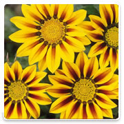 Oconomowoc Landscape Supply & Garden Center Gazania Annual Flowers