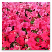 Oconomowoc Landscape Supply & Garden Center Impatiens Annual Flowers