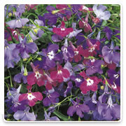 Oconomowoc Landscape Supply & Garden Center Lobelia Annual Flowers