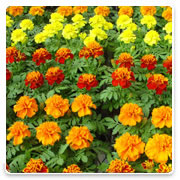 Oconomowoc Landscape Supply & Garden Center Marigolds Annual Flowers