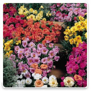 Oconomowoc Landscape Supply & Garden Center Moss Rose Annual Flowers