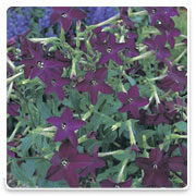 Oconomowoc Landscape Supply & Garden Center Nicotiana Annual Flowers