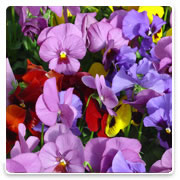 Oconomowoc Landscape Supply & Garden Center Pansy Annual Flowers