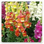 Oconomowoc Landscape Supply & Garden Center Snapdragons Annual Flowers