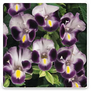 Oconomowoc Landscape Supply & Garden Center Torenia Annual Flowers