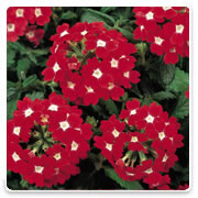 Oconomowoc Landscape Supply & Garden Center Verbena Annual Flowers