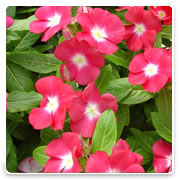 Oconomowoc Landscape Supply & Garden Center Vinca Annual Flowers