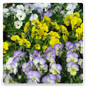 Oconomowoc Landscape Supply & Garden Center Viola Annual Flowers