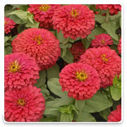 Oconomowoc Landscape Supply & Garden Center Zinnia Annual Flowers