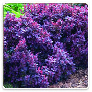 Oconomowoc Landscape Supply & Garden Center Deciduous Shrubs