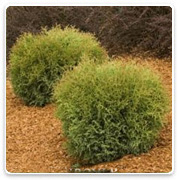 Oconomowoc Landscape Supply & Garden Center Evergreen Shrubs