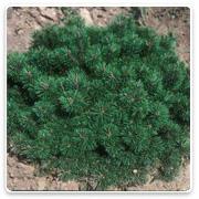 Evergreen shrubs oconomowoc landscape supply garden center for Small slow growing evergreen trees