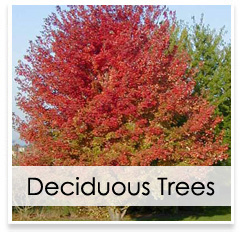 Oconomowoc Landscape Supply & Garden Center Deciduous Trees