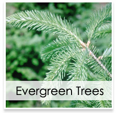 Oconomowoc Landscape Supply & Garden Center Evergreen Trees