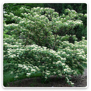 Oconomowoc Landscape Supply & Garden Center Ornamental Trees