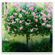 Ornamental trees oconomowoc landscape supply garden center for Small dwarf ornamental trees